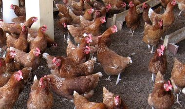 Directaid development Poultry Farming - Al-Khayer Farm 1