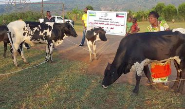 Directaid development Al-Sanabel Project Cow Production-2 1