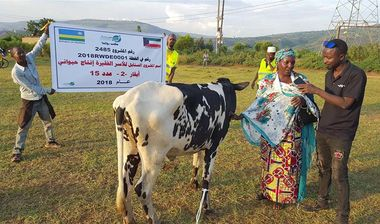 Directaid development Al-Sanabel Project Cow Production-2 4