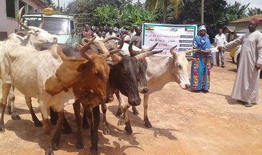 Directaid مشاريع التنمية Al-Sanabel Project Cow Production-5 2
