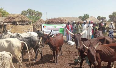 Directaid development project animal production cows-21 3