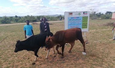 Directaid مشاريع التنمية Al-Sanabel Project Cow Production-4 12