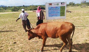 Directaid مشاريع التنمية Al-Sanabel Project Cow Production-4 13