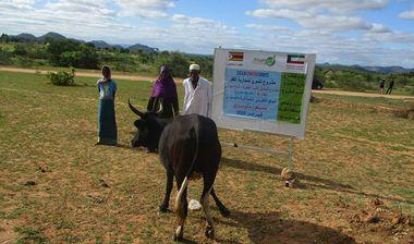Directaid مشاريع التنمية Al-Sanabel Project Cow Production-4 15