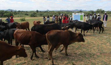 Directaid مشاريع التنمية Al-Sanabel Project Cow Production-4 2