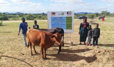 Directaid مشاريع التنمية Al-Sanabel Project Cow Production-4 4
