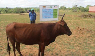 Directaid مشاريع التنمية Al-Sanabel Project Cow Production-4 6