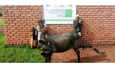 Directaid مشاريع التنمية Sudair Project - Raising Cows - 2 2