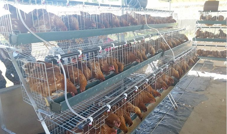 Directaid مشاريع التنمية Animal Production - Poultry - 1 5