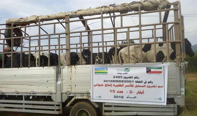 Directaid development Al-Sanabel Project Cow Production-2 2