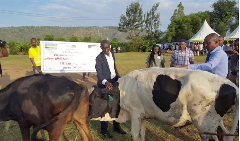 Directaid development Al-Sanabel Project Cow Production-2 3