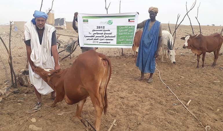 Directaid مشاريع التنمية Al-Sanabel Project Cow Production-9 3