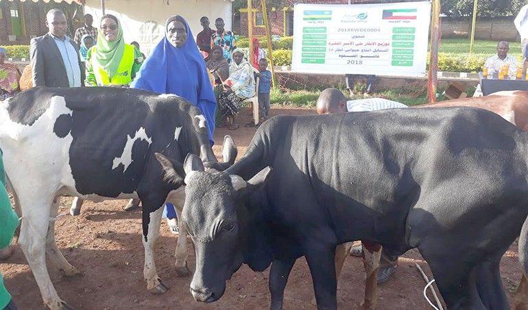 Directaid development Al-Sanabel Project Cow Production-12 1