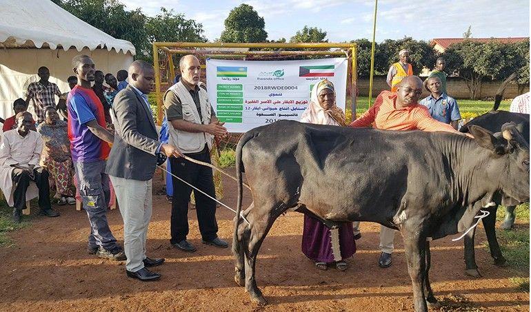 Directaid development Al-Sanabel Project Cow Production-12 2