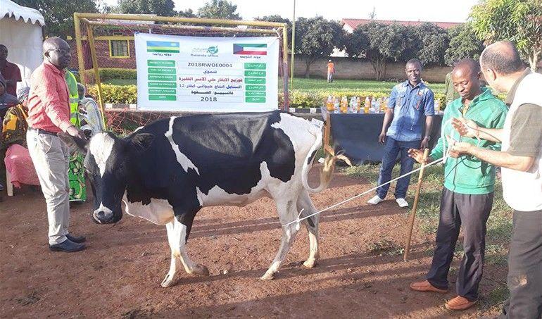 Directaid development Al-Sanabel Project Cow Production-12 3