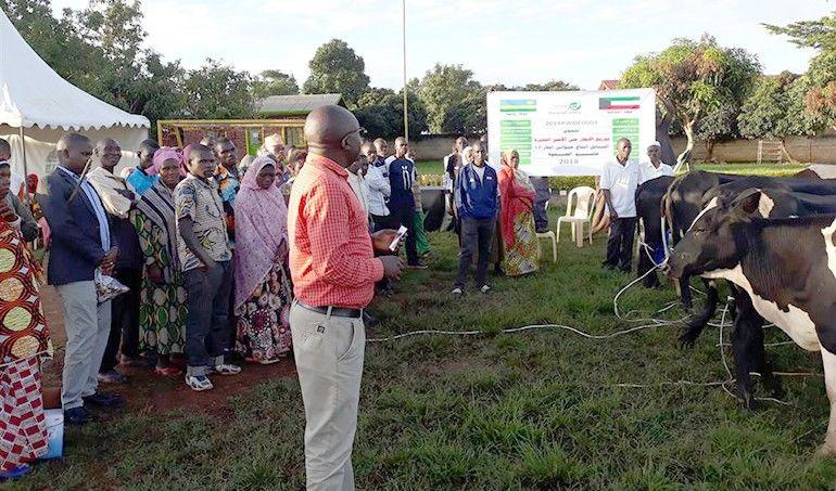Directaid development Al-Sanabel Project Cow Production-12 6
