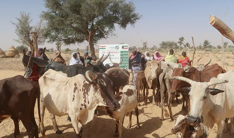 Directaid  Al-Sanabel Project Cow Production-8 1