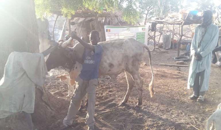 Directaid مشاريع التنمية project animal production cows-21 7
