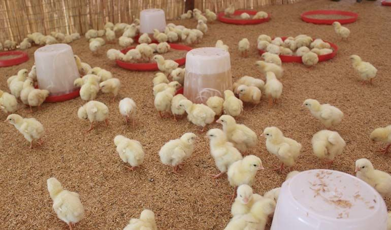 Directaid مشاريع التنمية Animal Production - Poultry -2 2